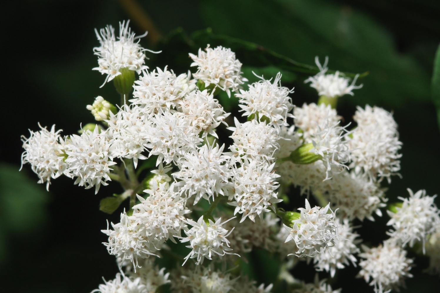 Featured Plant White Snakeroot Brooklyn Bridge Park