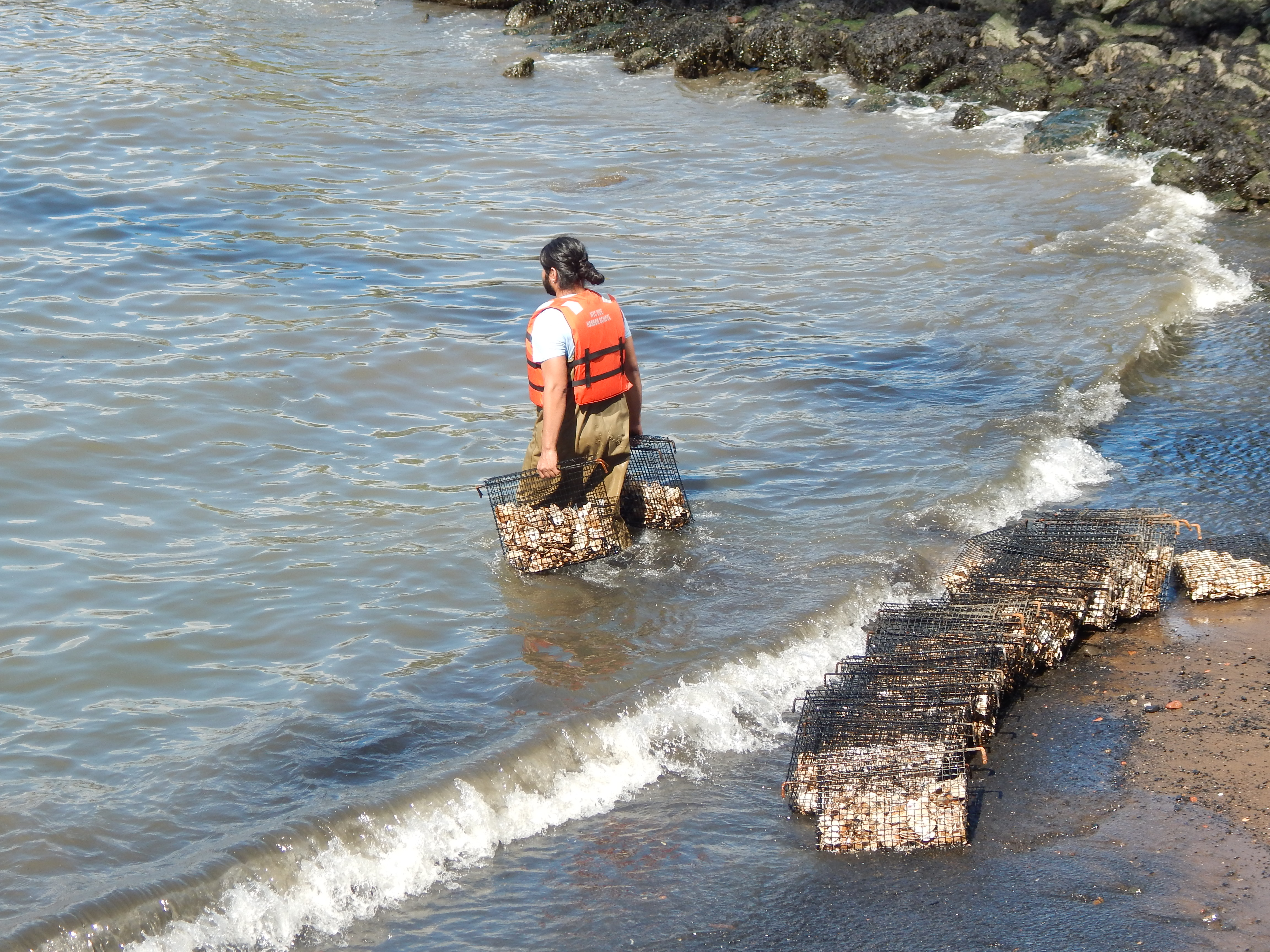 Person walking into water with oyster cages.