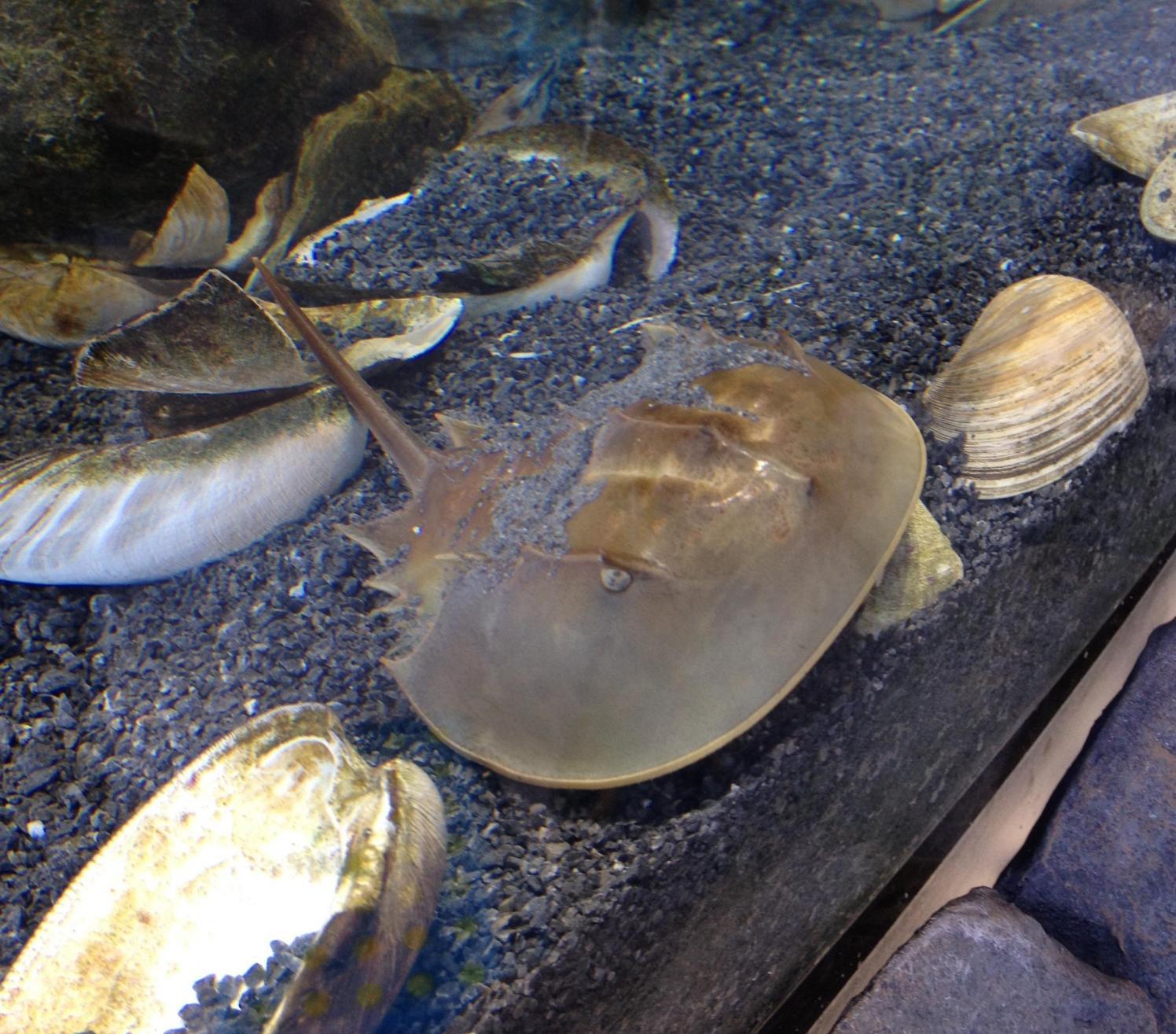 Food Horseshoe Crab Eats